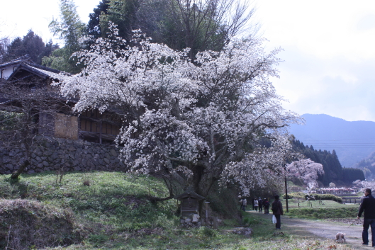 Cherry tree in the field of Uda