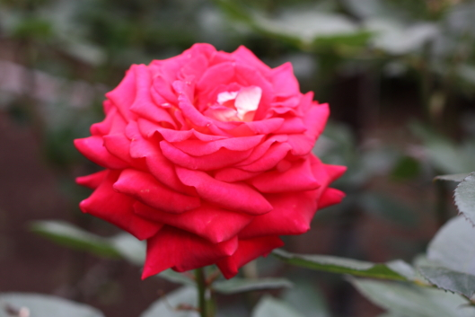 red rose, Furukawa garden