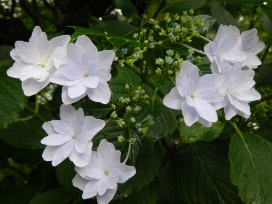 Hondoji tmple's hydrangea, white