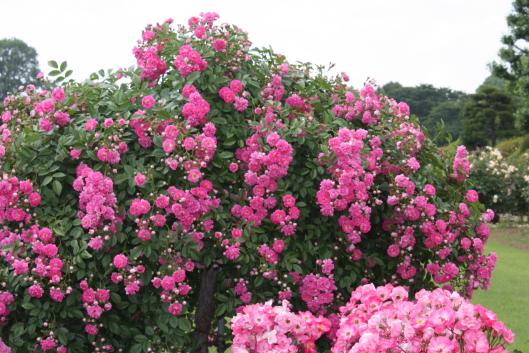 Shinjyuku Gyoen's rose garden, Tokyo