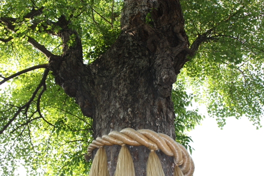 Huge gingo tree at Susanoo shrine, Tokyo