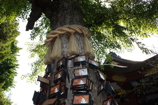 Huge gingo tree at Susanoo shrine