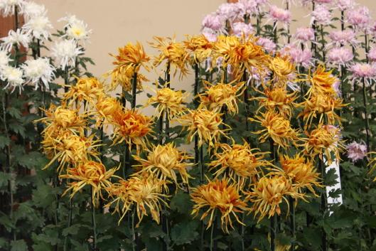 Shinjyuku Gyoen, chrysanthemum, Edo-giku
