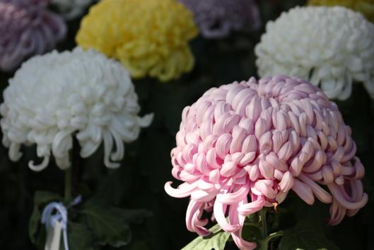 Shinjyuku Gyoen, chrysanthemum, Oogiku