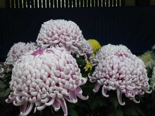 chrysanthemum, atsumono