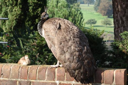 Leeds castle's peacock