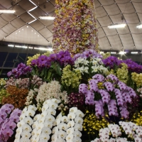 Many orchids at Japan Grand Prix International Orchid Festival 2013 in Tokyo, #8