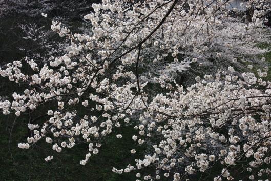 2013, sakura, cherry blossoms at Chidorigafuchi