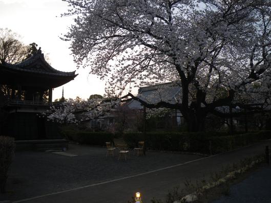 cherry blossooms