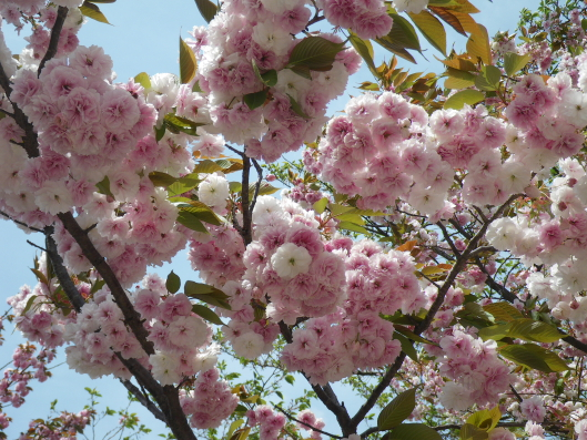double cherry blossoms at Shinjyuku Gyoen
