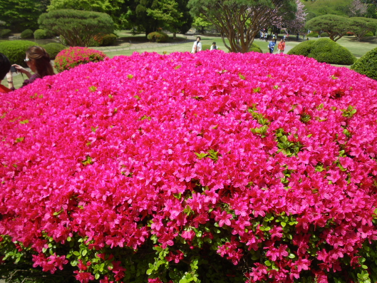 azalea at Shinjyuku Gyoen