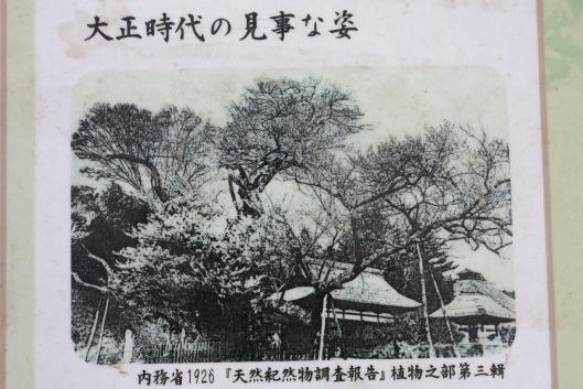 Jindai zakura (cherry blossom)