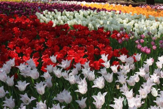 tulip at Hitachi seaside park