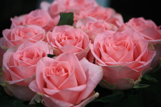 Pink Diamond, rose