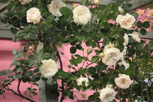 International Roses & Gardening Show 2013