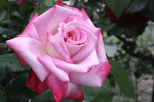 Altesse 75, rose