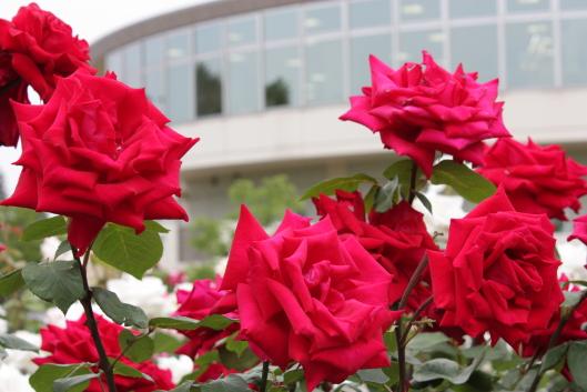 Christian Dior, rose