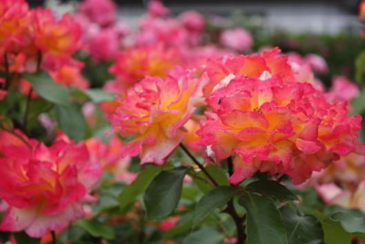 Souvenir d'Anne Frank, rose