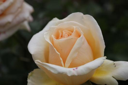Valencia, rose