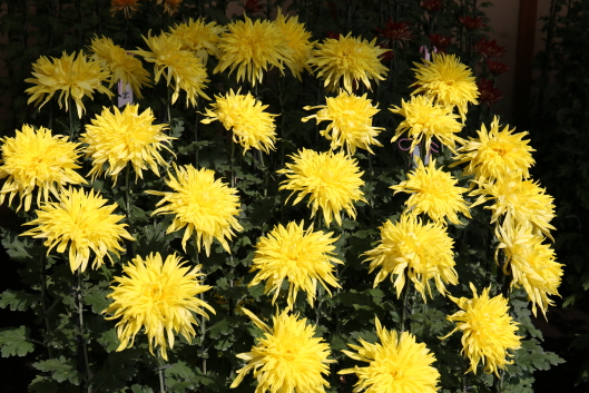 chrysanthemum at Shinjyuku Gyoen