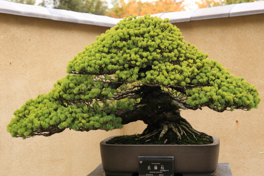 bonsai, Showa-kinen park